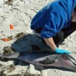 dolphin-deaths-florida
