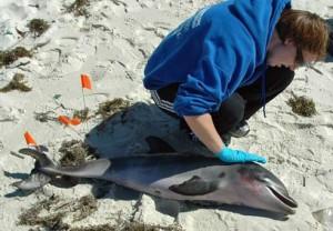 dolphin-deaths